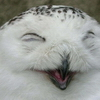 allagh: laughing_owl