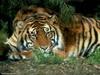 tigerh