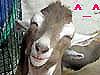 lol goat