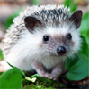 Anna S.: hedgehog