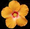 Twig: hibiscus