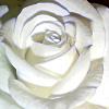 Cadenza white rose
