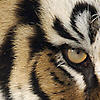 tigertulip userpic