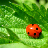 Nikki Fayre: Animal - Ladybug on Leaf