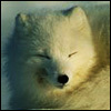 Dozing fox