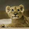 Lion Oh Boy