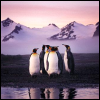 Penguins with Pink Sunset