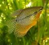 fishoune