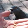 attack pigeon