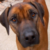 For everyone who loves Rhodesian Ridgebacks!