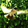 pied_flycatcher