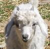 Justin-goat