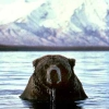 Animals/Nature:Bear in water