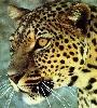 leopardhead