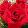 tori_and_roses userpic
