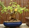 Shane: mulberry bonsai