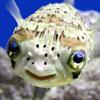 phoenix resurrected: yoda fish