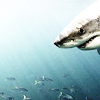 whiteshark userpic