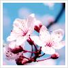 Flower - Sakura blossoms