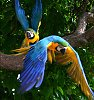 Des: Blue and Gold Macaws