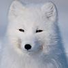 nothern fox