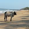 Beach Cow Anjuna