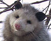 cortezopossum userpic