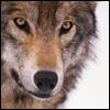 zombiewolf userpic