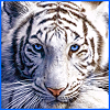 blueeyedtigress