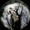 Lavra: cherry blossoms