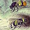 audubon bees