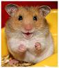 Her Hamsterness: hamster -- happy