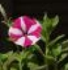 my_petunia userpic