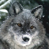 the_wood_wolf userpic