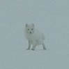 Arctic Fox - very small