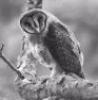 masked_owl