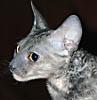 Timur I. Bakeyev: cat