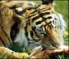 Eating Tiger