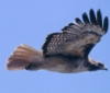 Redtail - in flight