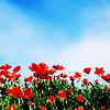 stock - poppies
