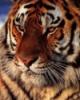 Carol Bartholomew: Tiger