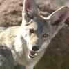 desertcoyote