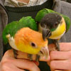 seymour pigeons