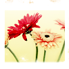 light daisies ; kismet_icons