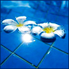 glimglamoury: plumeria in pool