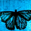 wonderingstar9: butterfly blue