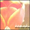 Beauty tulip