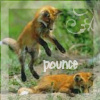 Animals - Fox pounce