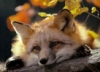 fox_moxin
