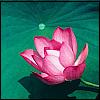 Robyn Goodfellow: lotus